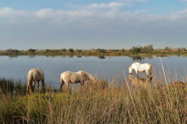 Pferde stehen im Wasser und trinken