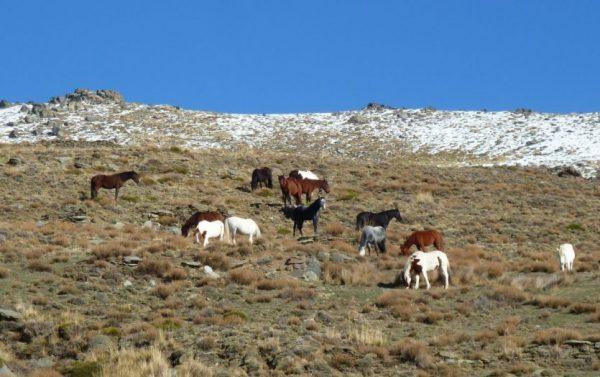 Pferde grasen an einem felsigen Hang