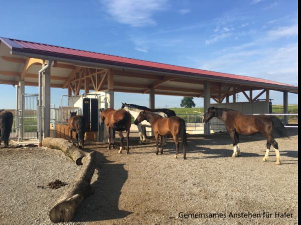 Pferde stehen für das Fressen im Bewegungsstall an