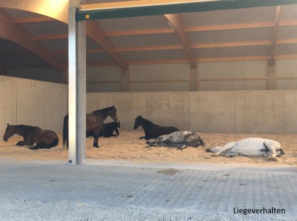 Pferde schlafen im Liegebereich des Bewegungstalles