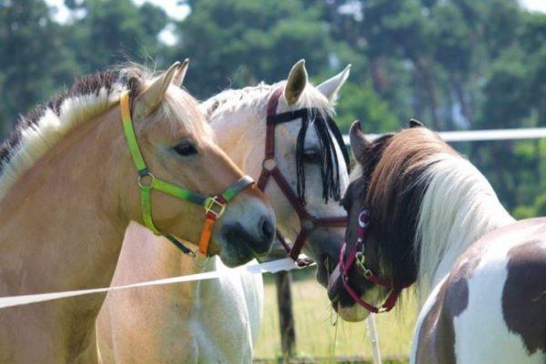 Drei Pferde mit Halfter auf der Koppel, die sich beschnuppern