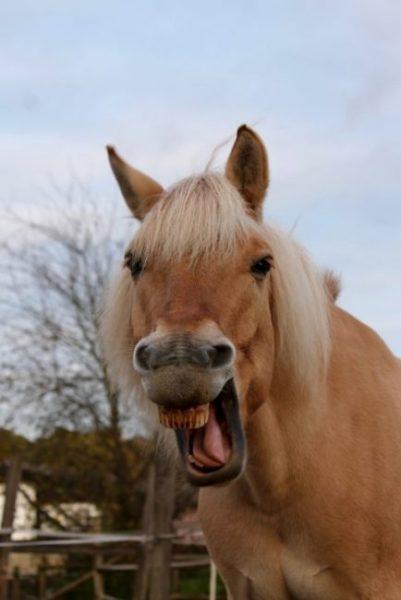 gähnendes Pferd