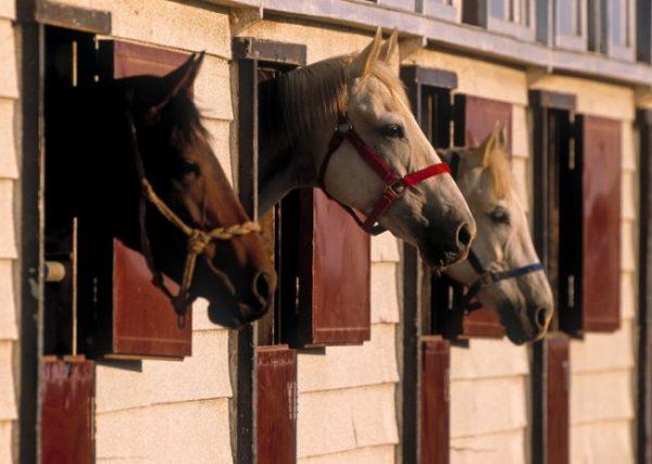 drei Pferde strecken ihre Köpfe aus ihren Boxenfenstern