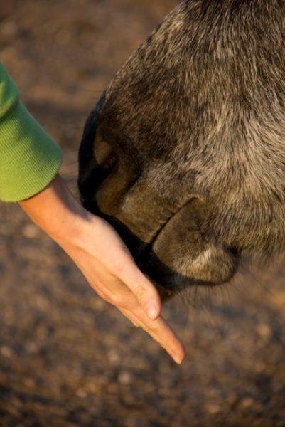 Jemand hält seine Hand an eine Pferdenase