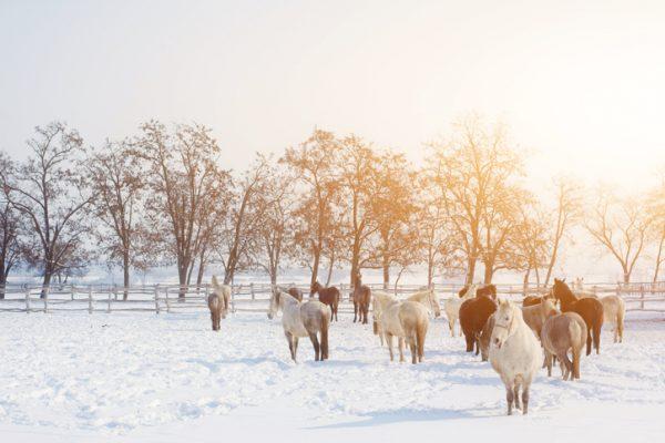 viele Pferde auf einer Koppel im Schnee